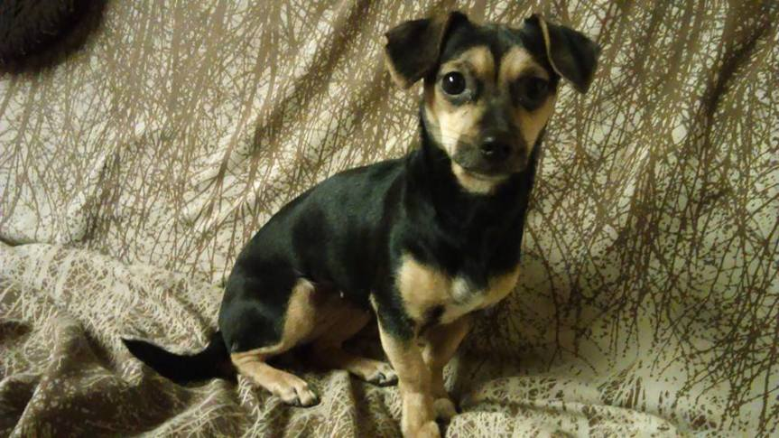 Is it Time to Make a Chiweenie a Member of yourFamily?