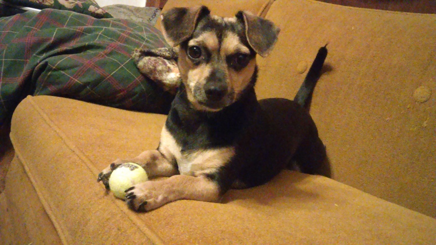 Meet the Chiweenie: Anya Schira AKA The Farm Chiweenie