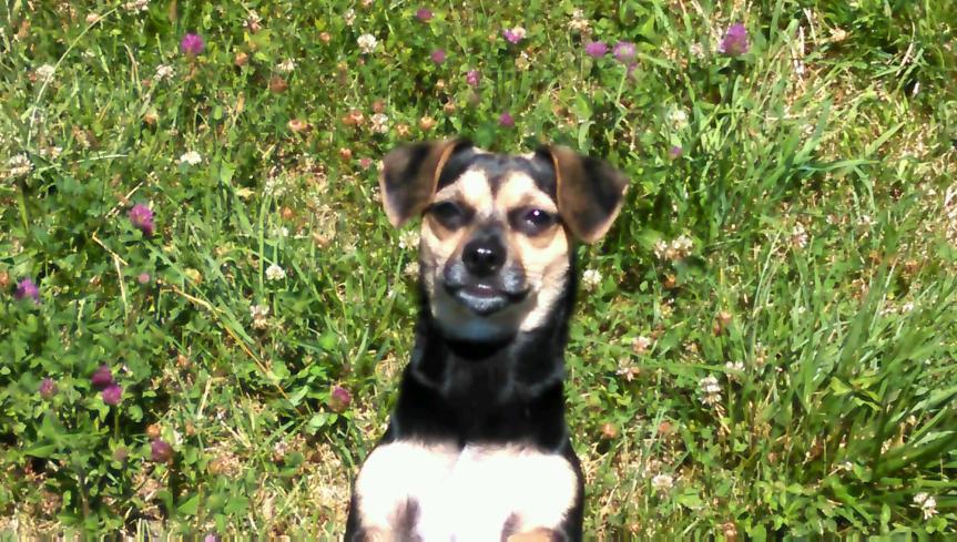 My Surprising Discovery About Dog Collars andChiweenies